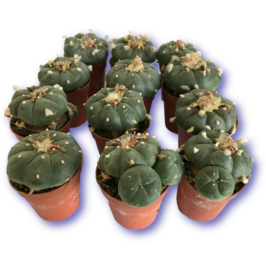 <strong>Peyote 3-6 cm</strong>